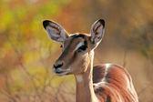 Impala antilopa — Stock fotografie