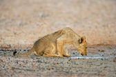 Lion cub drinking water — Stock Photo