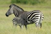 Zebra di pianura con puledro — Foto Stock