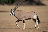Running gemsbok antelope — Stock Photo
