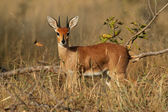 Steenbok antelope — Stock Photo