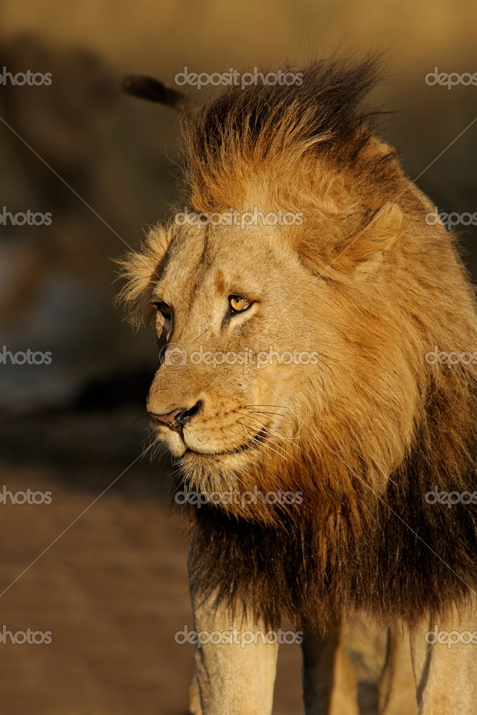 Portrait of a big male African lion (Panthera leo), Sabie-Sand nature reserve, South Africa — Stock Photo #1871309