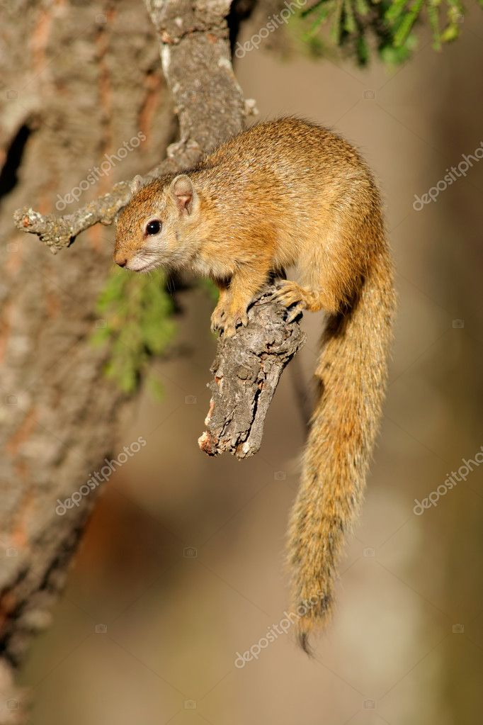 Tree squirrel (Paraxerus cepapi), Kruger National Park, South Africa — Stock Photo #1871698