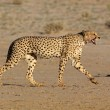 Stalking Cheetah — Stock Photo #1904371