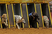 Greyhound racing — Stock Photo