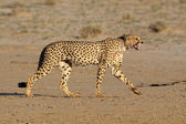 Stalking Cheetah — Stock Photo