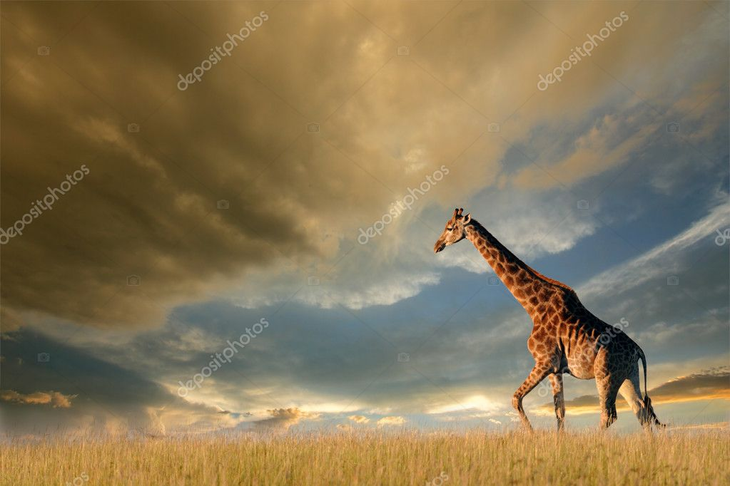 A giraffe walking on the African plains against a dramatic sky — Foto Stock #1904219