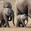 African elephant herd — Stock Photo #1994564