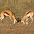 Fighting Springbok — Stock Photo