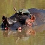 Hippopotamus and terrapin — Stock Photo #1994721
