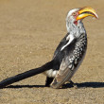 Yellow-billed hornbill — Stock Photo #1994904