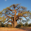Africbaobab tree — Stock Photo #1995077