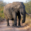 African elephant — Stock Photo #1995082
