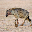Spotted Hyena - Stock Photo