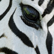 Zebra eye — Stock Photo