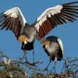 Crowned cranes — Stock Photo #1995561