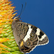 Stock Photo: Feeding butterfly