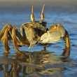 Ghost crab — Stock Photo