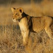 Lion cub — Stock Photo #1995642