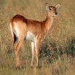 Red lechwe antelope — Stock Photo