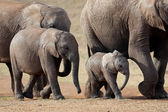African elephant herd — Stock Photo