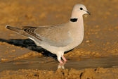 Cape turtle dove — Stock Photo