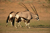Gemsbok antelopes — Stock Photo