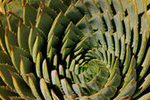 Spiral aloe — Stock Photo