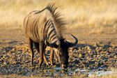 Wildebeest drinking — Stock Photo