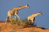 Giraffes on sand dune — Stock Photo