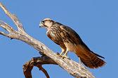 Lanner falcon — Stock Photo
