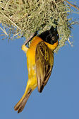 Masked Weaver (Ploceus velatus) — Stock Photo