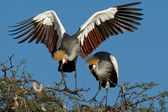 Crowned cranes — Stock Photo