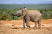 Young African elephant — Stock Photo