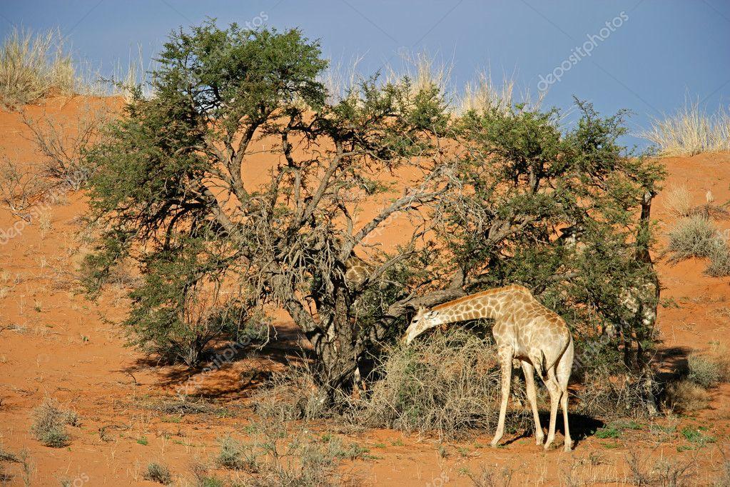 Acacia Tree Giraffe