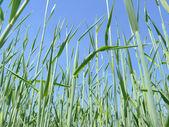 Rye stalks on clear blue sky — Stock Photo