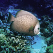 Angelfish — Stock Photo #1644347