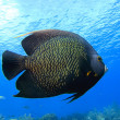 Angelfish — Stock Photo #1644375