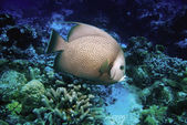 Gray Angelfish, Cozumel, Mexico — Stock Photo