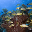 Schooling tropical fish — Stock Photo #1727080
