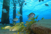 Schooling tropical fish — Stock Photo