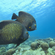 Angelfish — Stock Photo