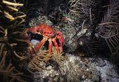 Underwater Crab — Stock Photo