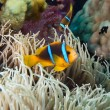 Clown Fish, Fiji — Stock Photo #2090247