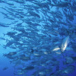 Schooling tropical fish, Fiji - Stock Photo