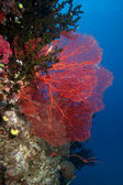 Sea Fan, Fiji — Stock Photo