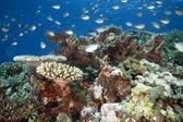 Schooling tropical fish, Fiji — Stock Photo