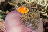 Clown Fish, Fiji — Stock Photo