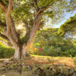 Tropical tree at dawn, HDR — Stock Photo #2168535