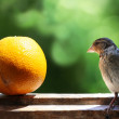 Sparrow and orange — Stock Photo #1725836